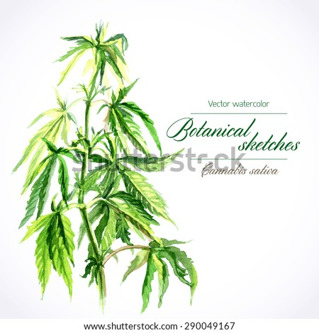 Vector botanical watercolor sketches of Canabis sativa - stock vector
