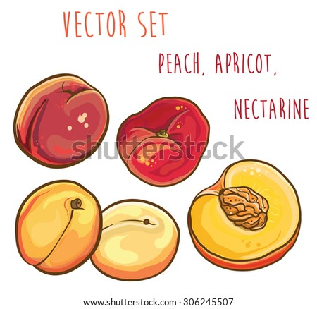 Vector bright illustration of peach, apricot, nectarine. Isolated. Vector fruit set. eps 10 - stock vector