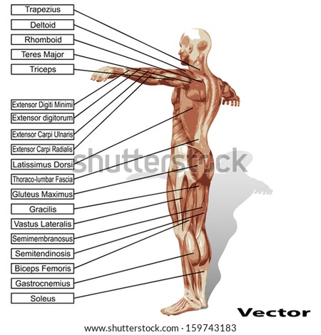 Vector concept or conceptual 3D human anatomy and muscle isolated on white background as a metaphor to body,tendon,spine,fit,builder,strong,biological,skinless,shape,posture,health or medical - stock vector
