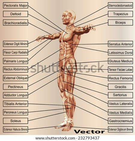 Vector concept or conceptual 3D human anatomy and muscle text on beige vintage background, metaphor to body, tendon, spine, fit, builder, strong, biological, skinless, shape, posture, health medical  - stock vector