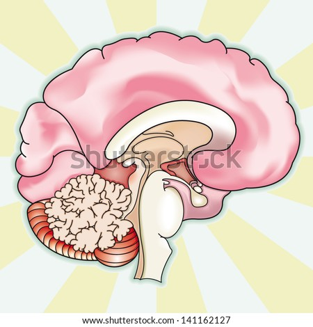 Human Brain Diagram Stock Photos, Images, & Pictures ...