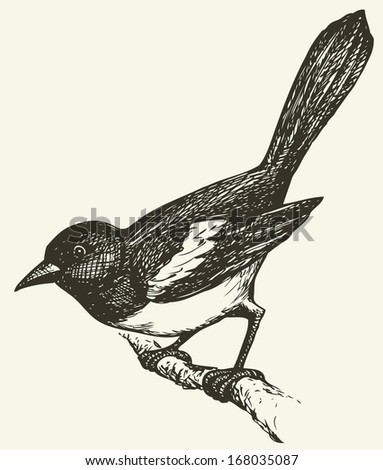 "Vector drawing of a series of monochrome sketches ""Birds"". Magpies are birds of the corvidae (crow) family, including the black and white Eurasian Magpie - stock vector"