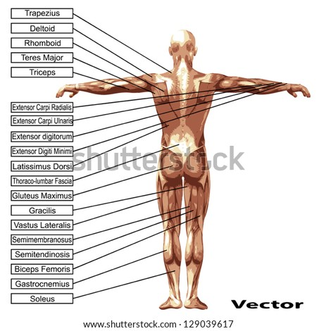Vector eps concept or conceptual 3D human anatomy and muscle isolated on white background as a metaphor to body,tendon,spine,fit,builder,strong,biological,skinless,shape,posture,health or medical - stock vector
