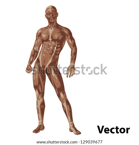 Vector eps concept or conceptual human or man 3D anatomy body with muscle isolated on white background as a metaphor to medicine,sport,male,muscular,medical,health,biology or fitness group or set - stock vector