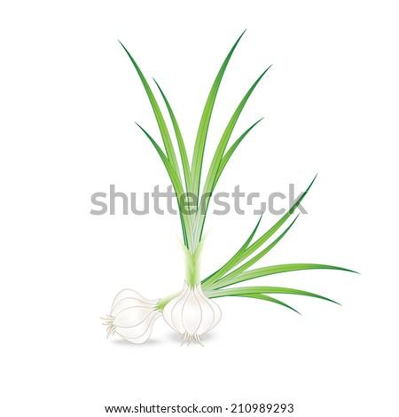 Vector fresh garlic  - stock vector