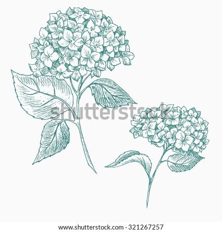 vector graphics handmade, botanical illustration hydrangea flowers, isolated object - stock vector