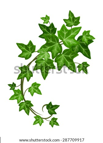Vector green ivy branch isolated on a white background. - stock vector