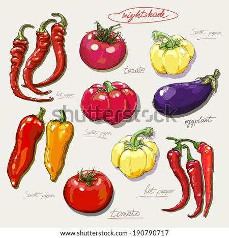 vector hand drawing nightshade vegetables set - stock vector