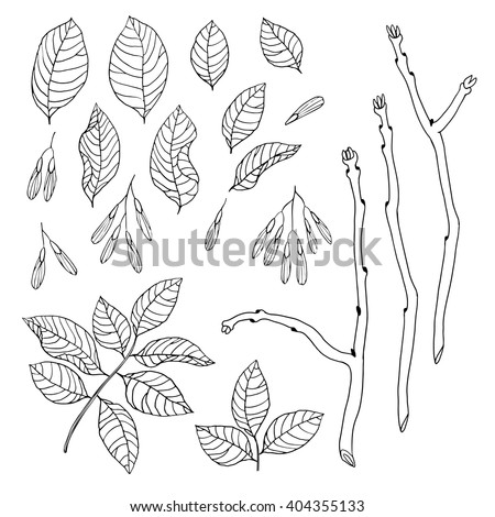 Vector hand drawn black and white floral set of ash tree for textile, fabric, postcards, wallpaper, scrapbooking and others - stock vector