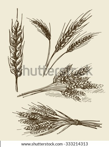vector hand drawn wheat ears sketch doodle - stock vector