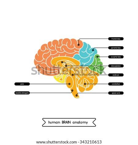 Vector human brain diagram.  Human brain diagram isolated on white background.  Human brain anatomy diagram. A cross section of the human brain. - stock vector