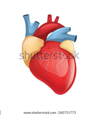 Vector human heart illustration - stock vector