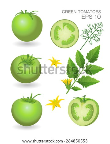 Vector illustration. Green fresh realistic tomatoes with leaves, blossom and dill isolated on white background - stock vector