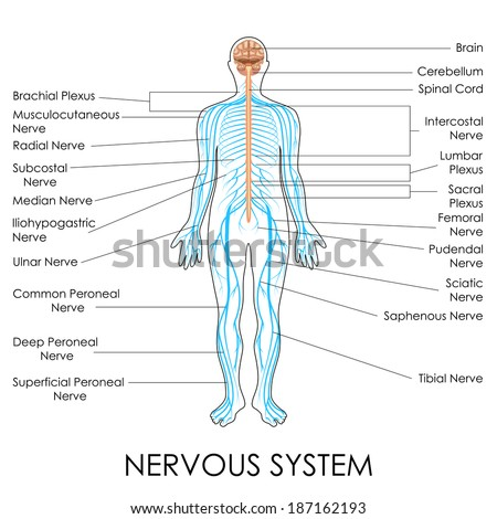 vector illustration of diagram of nervous system - stock vector