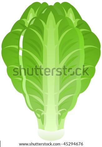 Vector illustration of green, Iceberg Lettuce - stock vector