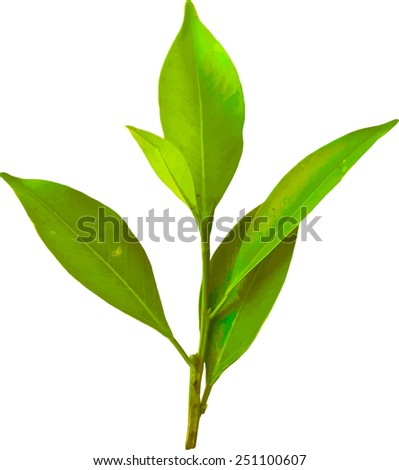 Vector illustration of green tropical leaves on a branch. Young plant leaf - stock vector