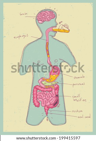 vector illustration of human digestive system for kids - stock vector