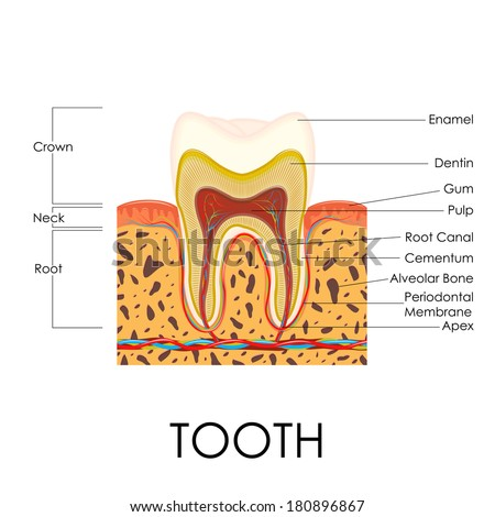 vector illustration of human tooth anatomy - stock vector