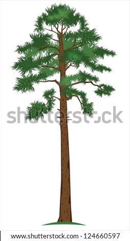 Vector illustration of tall pine-tree - stock vector