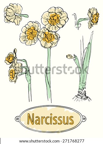 Vector illustration. Set of hand drawn sketches of narcissus bridal crown. Ink outlines with some colors isolated on ivory background with the text on hand drawn plate - stock vector