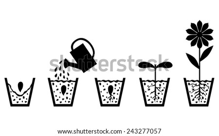 Vector illustrations of set image of scheme of plant growth from seed to flower - stock vector