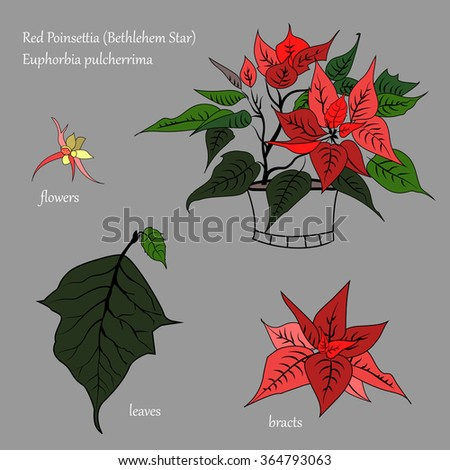 Vector image flower red poinsettia (Bethlehem Star). Separate leaves, flowers, bracts. Parts are isolated on a gray background. - stock vector
