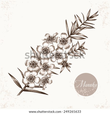 Vector images of medicinal plants. Biological additives are. Healthy lifestyle. Manuka. - stock vector