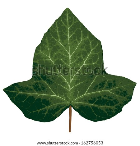 Vector ivy leaf. - stock vector