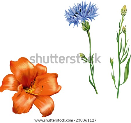 Vector Knapweed flower, Vector illustration of Orange Red lily flower  on white background - stock vector
