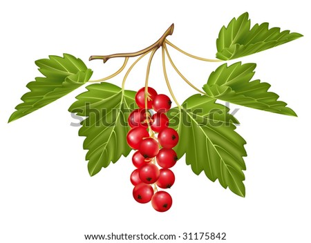 Vector red currant. Ripe berry - stock vector