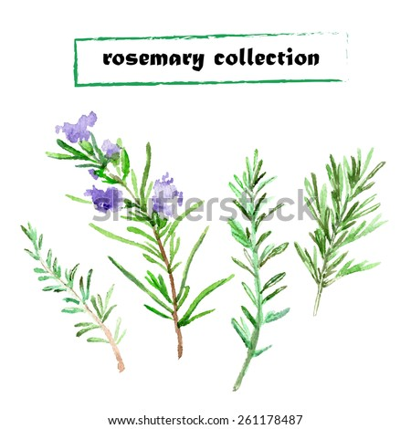 Vector set of watercolor rosemary. Herbs collection on white background. - stock vector