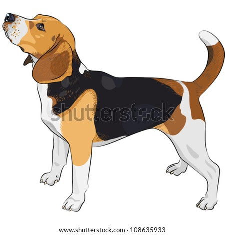 vector sketch dog Beagle breed - stock vector