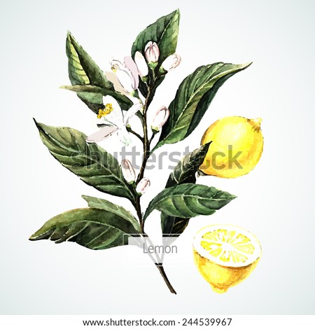 Vector watecolor Lemon. Botanical Illustration. Watercolor.  Vector illustration. Illustration for greeting cards, invitations, and other printing projects. - stock vector