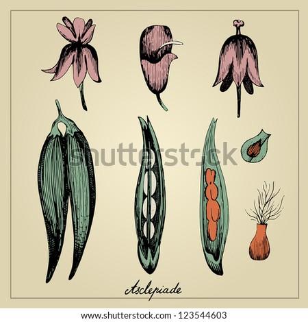 Vintage botanical illustration - stock vector