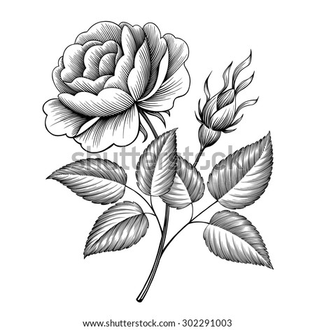vintage rose flower engraving calligraphic Victorian style tattoo botanical vector illustration - stock vector