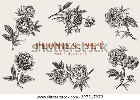 Vintage vector illustration. Peonies. Set. - stock vector