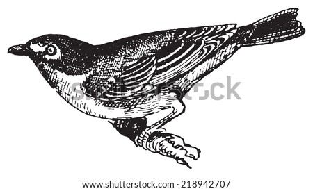Vireo solitarius or Blue-headed Vireo, vintage engraved illustration. Dictionary of words and things - Larive and Fleury - 1895. - stock vector