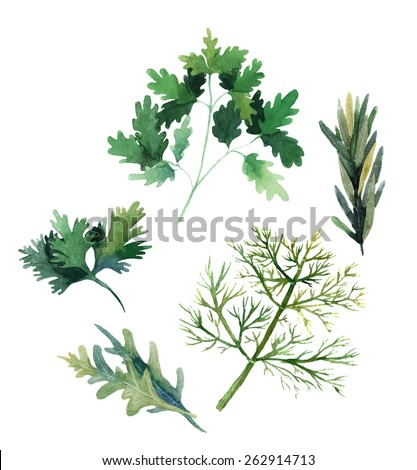 Water color herbs. Fennel, parsley, rosemary and arugula. Vector illustration - stock vector