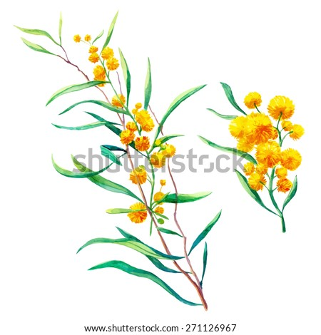 watercolor brunch of mimosa flowers - stock vector