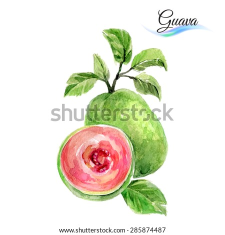 Watercolor fruit guava isolated on white background - stock vector