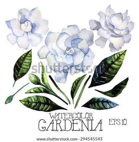 Watercolor gardenia set. Vector design elements isolated on white background - stock vector
