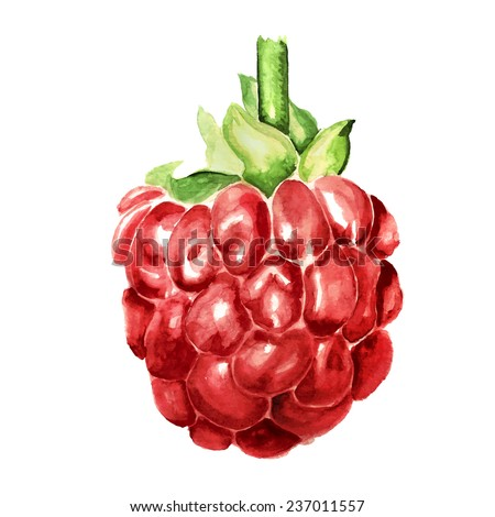 Watercolor image of berry of raspberry isolated on white background. Vector eps8 - stock vector