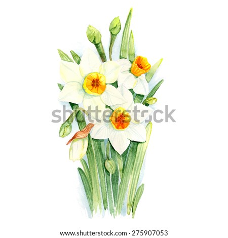 Watercolor narcissus. Vector illustration. - stock vector