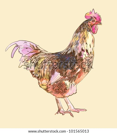 watercolor painting sketch cock - stock vector