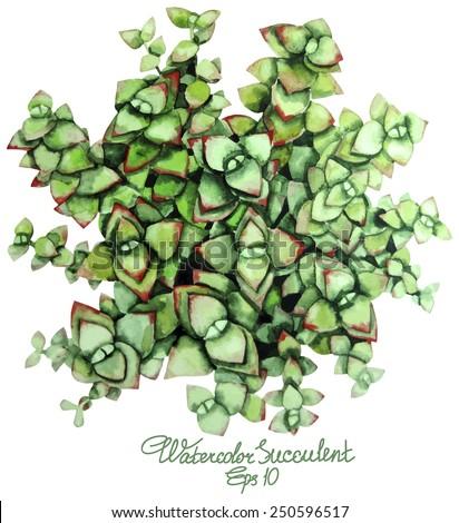 Watercolor succulent. Crassula. Money tree. Vector  illustration - stock vector
