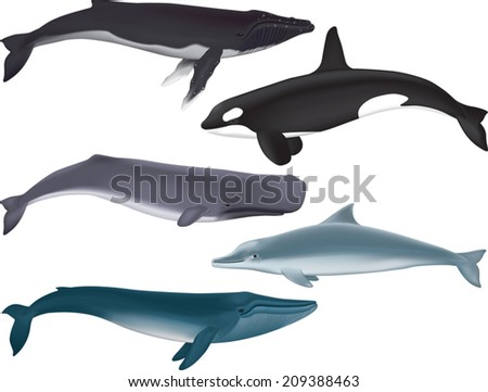 Whales. Vector Illustration of several kinds of marine mammals. - stock vector