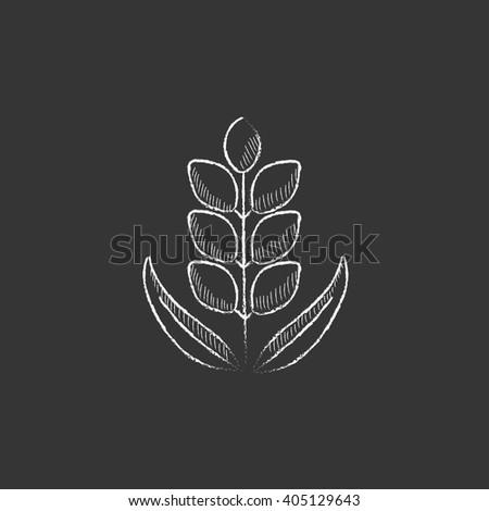 Wheat. Drawn in chalk icon. - stock vector