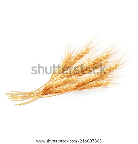 Wheat ears isolated on white background, agricultural illustration. EPS 10 vector file included - stock vector