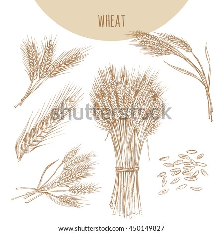 Wheat ears, sheaf and grains. Cereals sketch pencil hand drawn vector illustration. Bakery element design. - stock vector