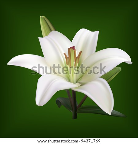 white lily on dark background vector - stock vector